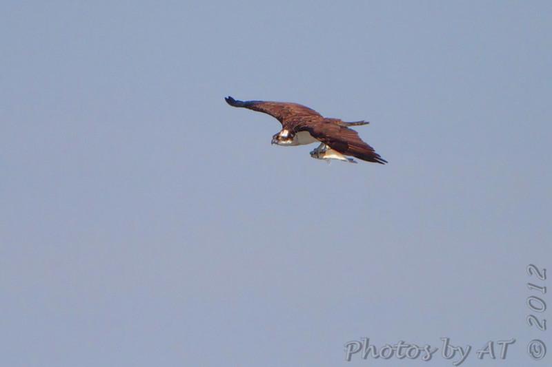 Osprey <br /> Smithville Lake