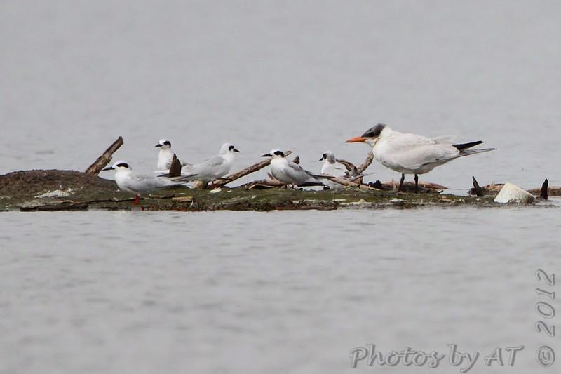 Forster's Terns and Caspian Tern <br /> Teal Pond <br /> Riverlands Migratory Bird Sanctuary