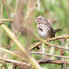 Song Sparrow <br /> Columbia Bottom Conservation Area