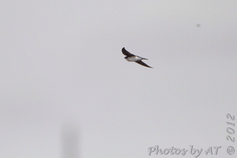 Northern Rough-winged Swallow <br /> Teal Pond <br /> Riverlands Migratory Bird Sanctuary