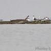 Forster's Terns <br /> Teal Pond <br /> Riverlands Migratory Bird Sanctuary