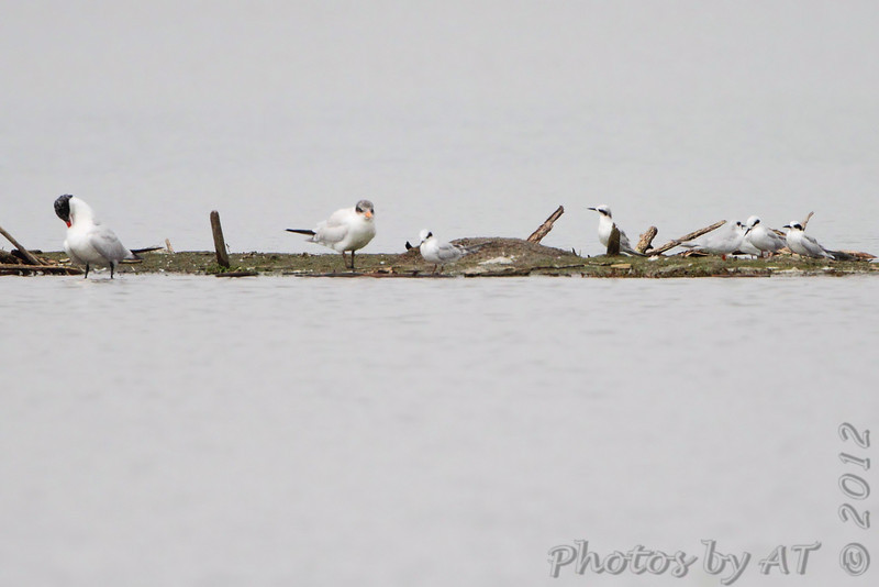 Forster's Terns and Caspian Tern <br /> Teal Pond <br /> Riverlands Migratory Bird Sanctuary