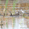 Solitary Sandpiper and Lesser Yellowlegs <br /> Columbia Bottom Conservation Area