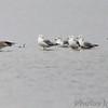 Ring-billed Gulls <br /> Teal Pond <br /> Riverlands Migratory Bird Sanctuary