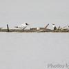 Forster's Terns and Caspian Terns <br /> Teal Pond <br /> Riverlands Migratory Bird Sanctuary
