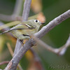 Ruby-crowned Kinglet <br /> Tower Grove Park