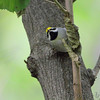 Golden-winged Warbler <br /> Tower Grove Park