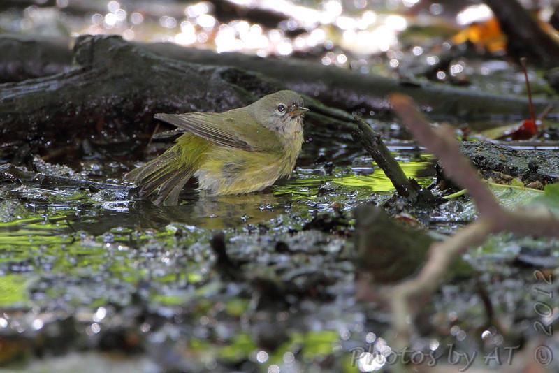 Orange-crowned Warbler <br /> Tower Grove Park