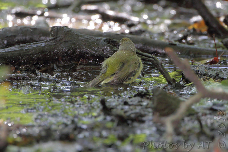 Orange-crowned Warbler <br /> Tower Grove Park