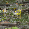 Black-throated Green Warbler <br /> and Northern Parula <br /> Tower Grove Park