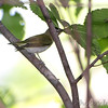 Red-eyed Vireo <br /> Tower Grove Park
