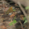 Wood Thrush <br /> Tower Grove Park