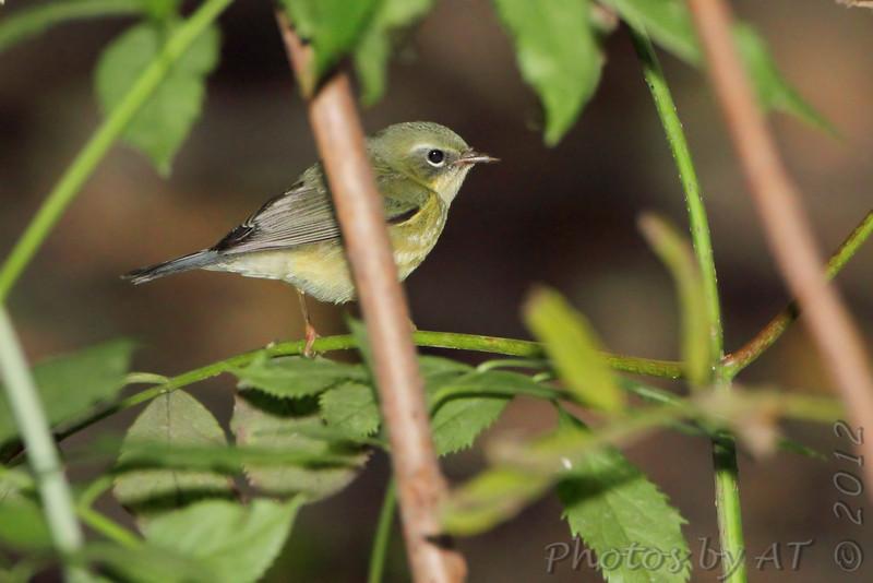 Black-throated Blue Warbler (female) <br /> Tower Grove Park