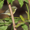 Black-throated Blue Warbler (female) <br /> Tower Grove Park