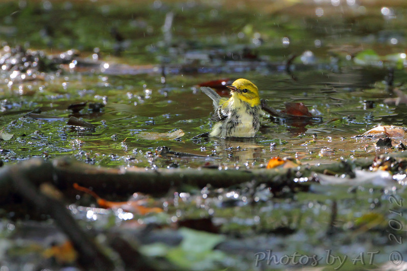 Black-throated Green Warbler <br /> Tower Grove Park