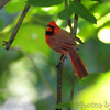 Northern Cardinal <br /> Tower Grove Park