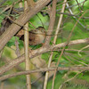 Winter Wren <br /> Tower Grove Park