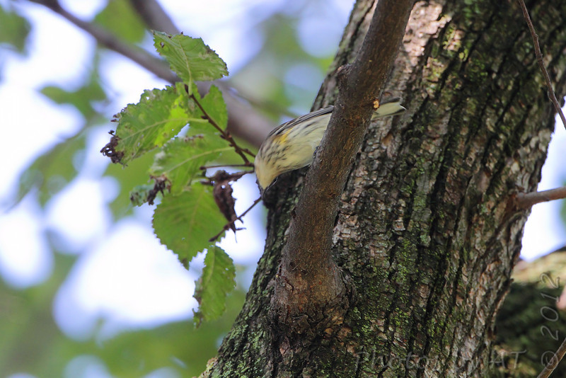 Yellow-rumped Warbler <br /> Tower Grove Park
