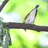 Blue-headed Vireo <br /> Tower Grove Park