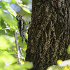 Yellow-bellied Sapsucker <br /> Tower Grove Park