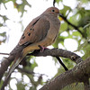 Mourning Dove <br /> Bridgeton, Mo. <br /> 9/30/12