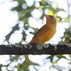 Summer Tanager <br /> Bridgeton, Mo.<br /> 9/29/12