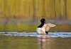 Ring-necked Duck wing flap