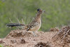 Greater Roadrunner from Martin Ranch