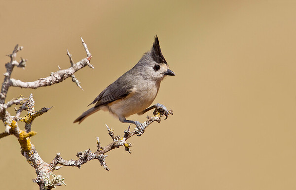 The first of 3 Tufted Titmouse images