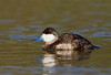 Ruddy Duck from Estero Llano Grande SP