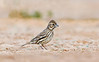 Lark Bunting with raised crest