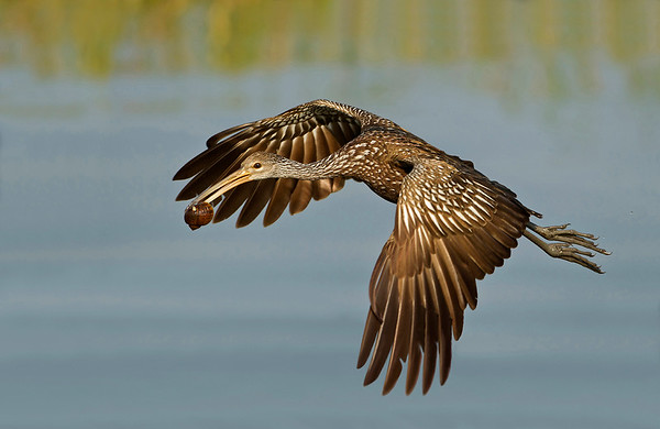A male limpkin carrying a snail whie flying over water