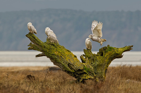 A  weathered tree root system serves as a perch for these 5 snowy owls