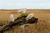 Three alert owls posed on a stump  in marsh terrain.  There were all sort of narrow streams and rivulets throughout this marsh that made travelling often quite tortuous