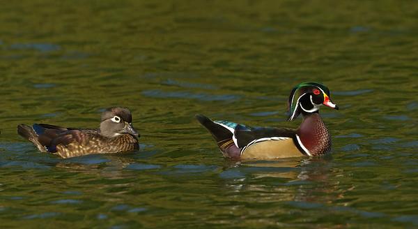 2012 Wood Ducks