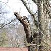 Eastern Screech Owl tree <br /> (a noshow today) <br /> Ferguson, MO