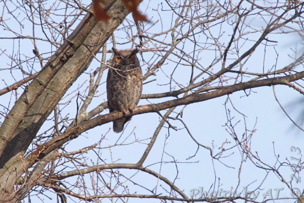 Great Horned Owl <br /> Ferguson, MO