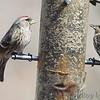 Common Redpoll and Pine Siskin <br /> Ferguson, MO