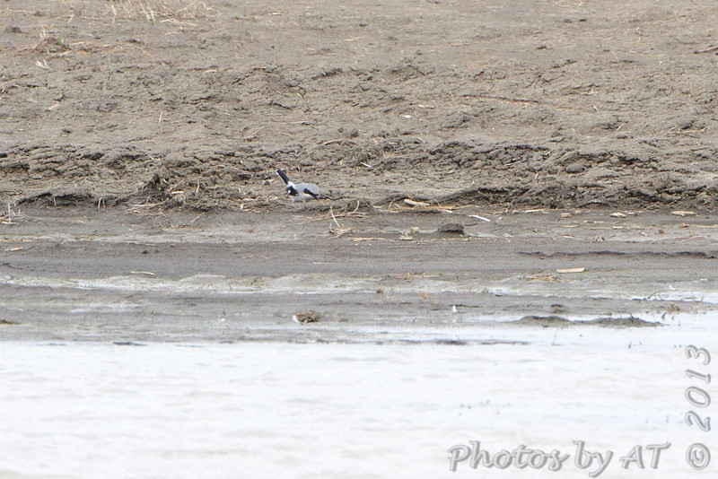 Loggerhead Shrike <br /> Wise Road Wetland <br /> Riverlands Migratory Bird Sanctuary