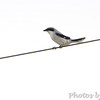 Loggerhead Shrike <br /> Wise Road Wetland <br /> Riverlands Migratory Bird Sanctuary