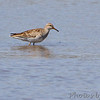 "Pectoral Sandpiper <br /> ""Stonehenge"" <br /> Lincoln Shields South Access <br /> Riverlands Migratory Bird Sanctuary"