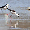 "Black-necked Stilt <br /> ""Stonehenge"" <br /> Lincoln Shields South Access <br /> Riverlands Migratory Bird Sanctuary"