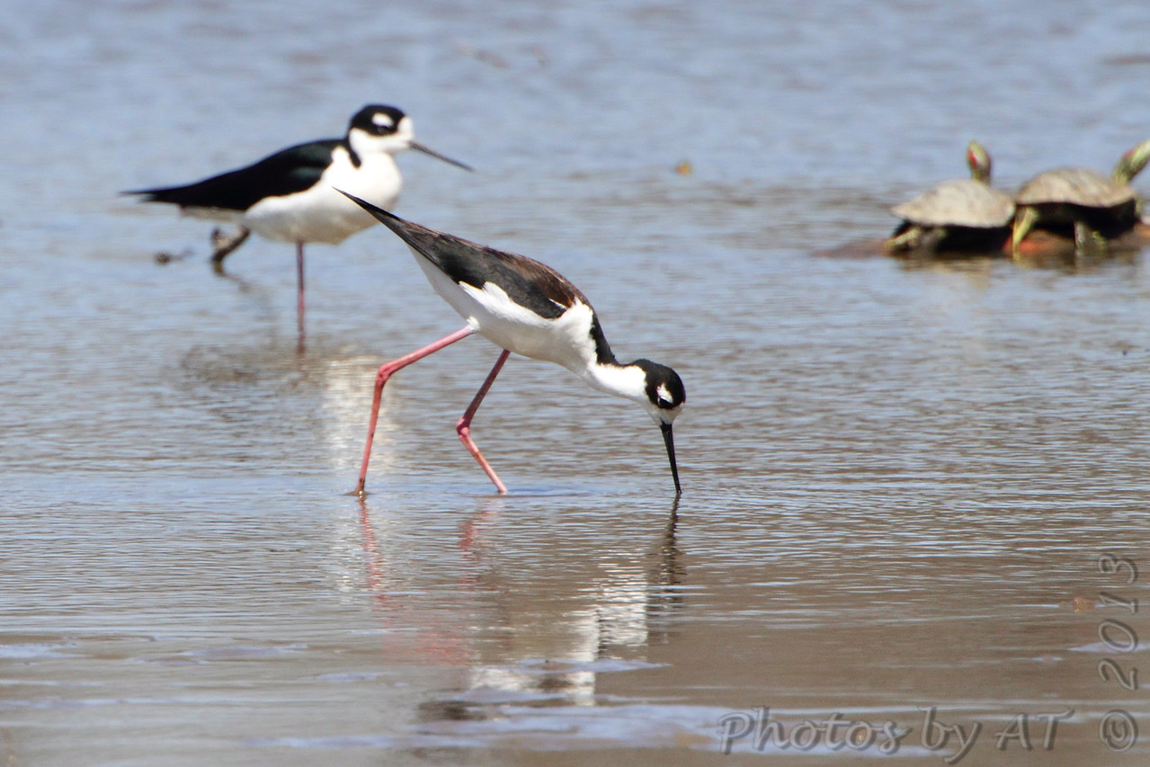 "Black-necked Stilt <br /> ""Stonehenge"" <br /> Lincoln Shields South Access <br /> Riverlands Migratory Bird Sanctuary"
