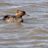 Hooded Merganser (female) <br /> Ellis Bay <br /> Riverlands Migratory Bird Sanctuary