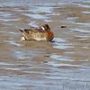 Lesser Scaup <br /> Ellis Bay <br /> Riverlands Migratory Bird Sanctuary