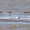 21 Hudsonian Godwit <br /> (pano of two photos) <br /> Ellis Bay <br /> Riverlands Migratory Bird Sanctuary