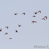 21 Hudsonian Godwit <br /> Ellis Bay <br /> Riverlands Migratory Bird Sanctuary