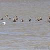 Hudsonian Godwit <br /> and Bonaparte's Gull <br /> Ellis Bay <br /> Riverlands Migratory Bird Sanctuary