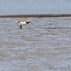 "Wilson's Phalarope <br /> ""Stonehenge"" <br /> Lincoln Shields South Access <br /> Riverlands Migratory Bird Sanctuary"