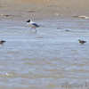 Dunlin and Bonaparte's Gull <br /> Lincoln Shields <br /> Riverlands Migratory Bird Sanctuary